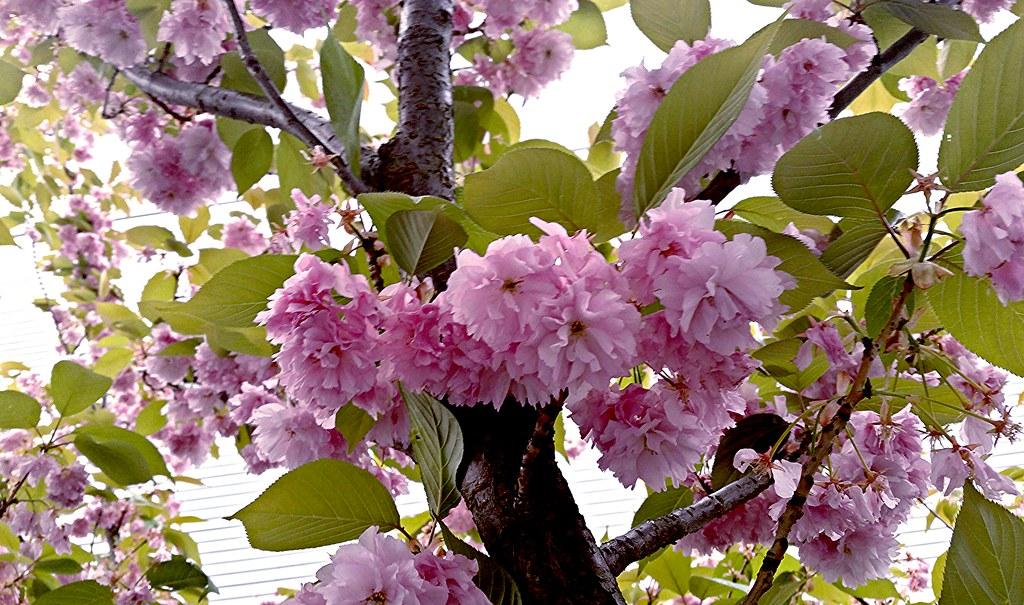 Prunus serrulata by Aviary