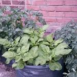 potato in miestasmagnus's Garden