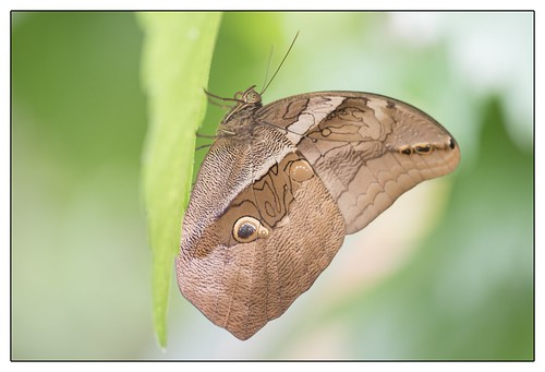 Eryphanis automedon Butterfly
