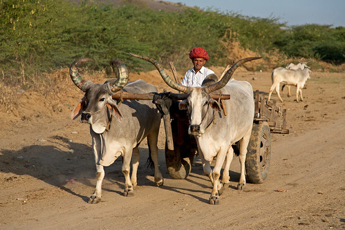 Oxcart in Rajasthan