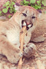 Cougar Chewing a Stick