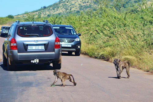 Baboon Crossing!