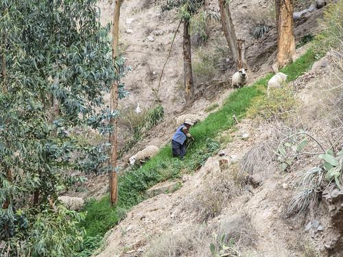Trek du Cañon de Colca: une bergère