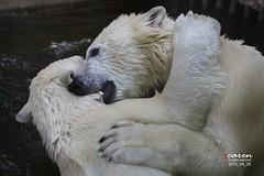 Polar Bears Giovanna, Yoghi & Cubs Nela&Nobby