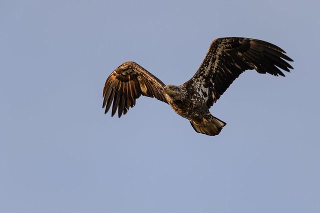 Bald Eagle_49391.jpg