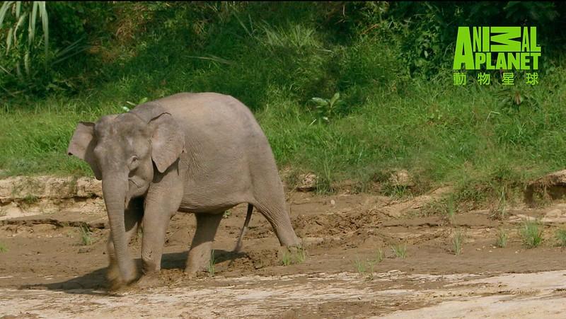 婆羅洲原生物種侏儒象目前只剩下約1500頭,屬於瀕危等級。(動物星球頻道提供)