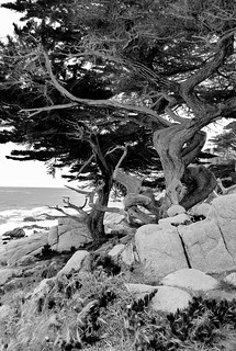Coastal Cypresses (B&W)