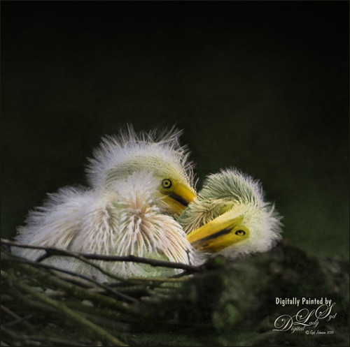 Image of two baby Great Egrets in a nest