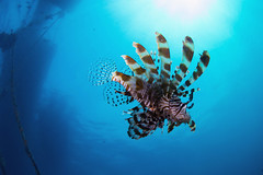 Lion fish under the service jetty at Moyo Island, Indonesia