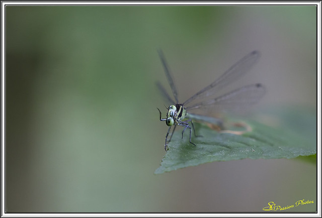 Agrion 04