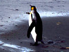 King Penguin at Macquarie Island