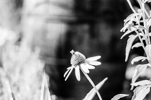 bw black blackandwhite blackwhitephotos blackwhite barrythorntons2bathdeveloper bttb nikon nikonf100 f100 50mm f18 selfdeveloped homemadesoup mono monochrome 35mm analogue bee nature natural flower flowers rollei retro 80s