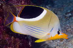 Saddled Butterflysfish - Chaetodon ephippium