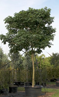 Piscidia Piscipula (Jamaica Dogwood)