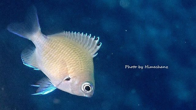 季節限定なのでついつい撮っちゃうアマミスズメダイ幼魚