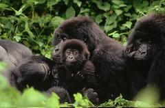 剛果維龍加國家公園的大猩猩。(來源:Martin Harvey / WWF)