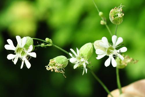 Botanischer Wiesenspaziergang Exkursion Pflanzenbestimmungen Wildpflanzen Wiesenblumen Mai 2015 Natur
