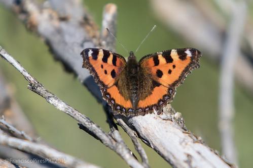 Borboleta diurna (Aglais urticae) Frades Montalegre_2015-05-30