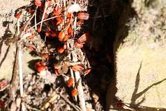 Red bug multitude II