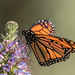 Monarch Butterfly (Danaus plexippus) on Pride of Madeira (Echium candicans) - Huntington Central Park by Jim Frazee