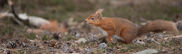 Red squirrel - Northumberland