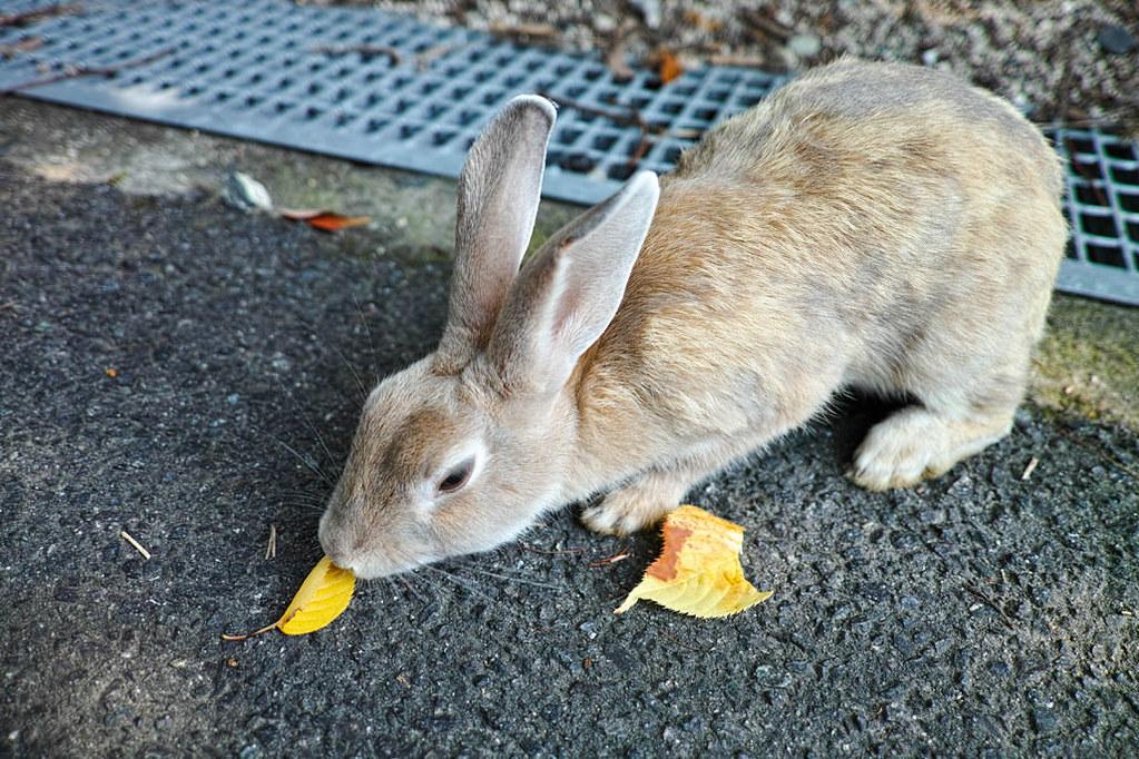 大久野島のうさぎが落ち葉を食べている