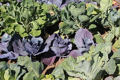 brassica(0.0), flower(0.0), produce(0.0), food(0.0), collard greens(0.0), annual plant(1.0), cabbage(1.0), vegetable(1.0), field(1.0), garden(1.0), plant(1.0), leaf vegetable(1.0),