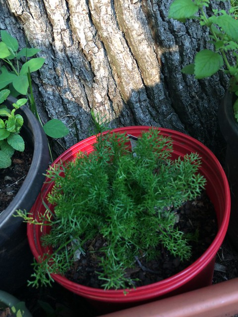 chamomile planting in AHITG_ Herb Bed  by At_Home_In_My_Garden