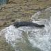 Grey Seal New Quay Wales 12-6-16 by Tim Birds
