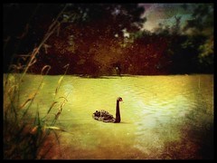 Life can be like a swan to the viewer swimming serenely by not a care in the world but look a little deeper and the legs are working very hard. To all my friends and followers who are struggling. It will get easier. God bless :heart:️:heart:️:heart:️:hear