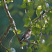 Juvenile pied flycatcher