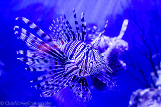 Devil Firefish