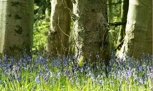 20150426-10_Cawston Bluebell Woods - Tree Trunks + Bluebells