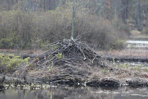 connecticut beaver bolton forrent beaverlodge boltomnotch