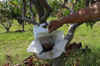 以桶子裝魚骨粉和黃豆粉加水攪拌而成的飼料,為了吸引麗蠅來授粉。