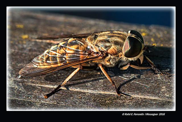 Tàvec als Ulllals de Baldoví (Tabanus bovinus) Horsefly (Sueca, la Ribera Baixa, València, Spain)