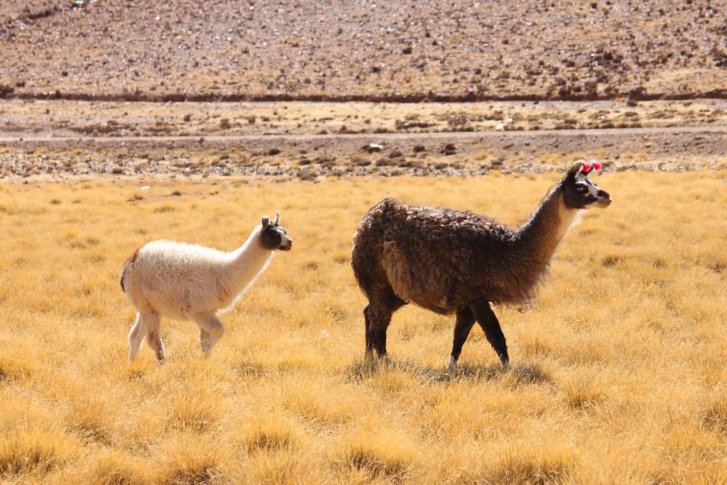 lamaer ved Salar de Uyuni