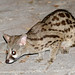 Cape Genet - Photo (c) Bernard DUPONT, some rights reserved (CC BY-SA)
