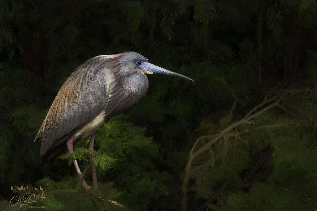 Image of a Tri-Colored Heron