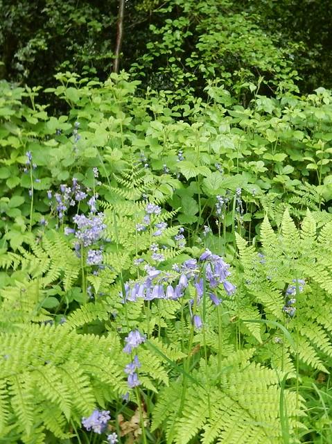 Friezeland Wood .. last of the bluebells