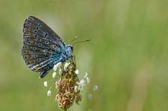Papillon Argus 2015 DSC_3099_DxO