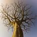 Baobá by Davidson Santiago