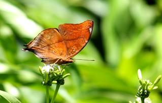 IMG_5364/Thailand/Koh Phi Phi Island/Doleschallia Bisaltide Pratipa/female form