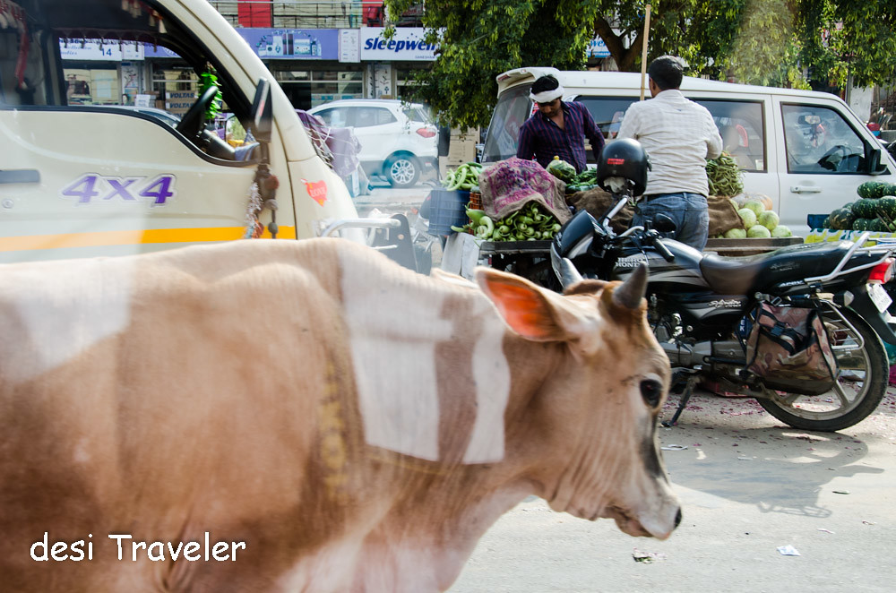 Cow on Indian Highway