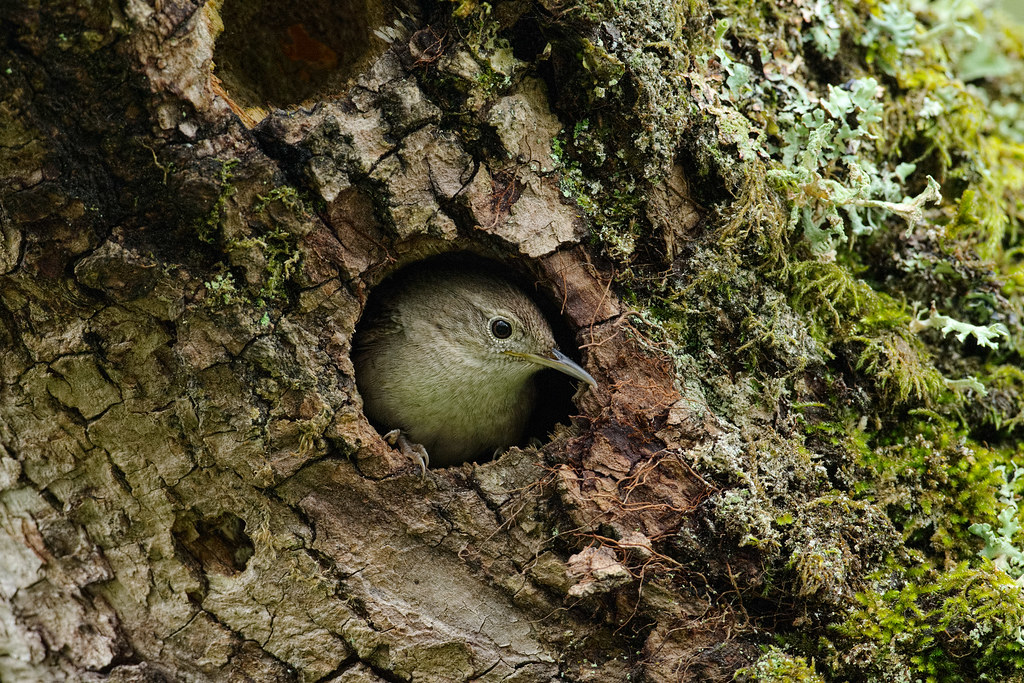 A house wren peers out of a cavity in a tree where it was making its nest