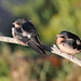 Baby swallows. _H422993 by Peacefulbirder