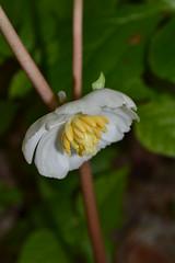 Mayapple flower