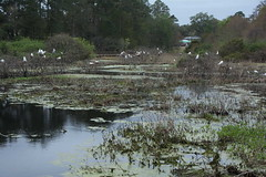 Cypress Wetlands Port Royal SC (16)