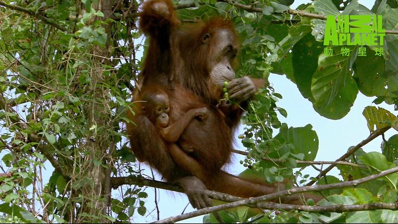 HUTAN呼籲政府與油棕櫚農園一起保育紅毛猩猩。(動物星球提供)