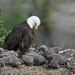 Eaglets by kdee64